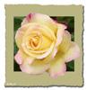 <strong>Yellow Rose</strong><br />